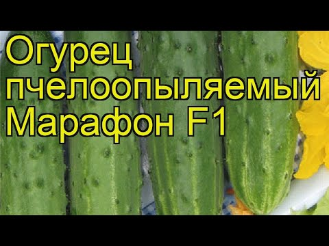 Огурец Марафон (Огурец). Краткий обзор, описание характеристик, где купить семена cucumis sativus