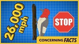Woodpeckers are Tougher than you Think thumbnail
