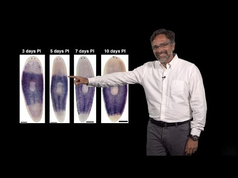 Alejandro Sánchez Alvarado (Stowers, HHMI) 2: Regeneration: Neoblasts: The planarian stem cells