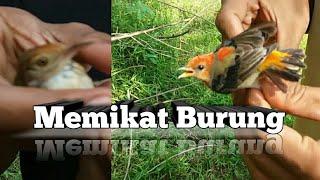 MEMIKAT Burung Cabe jawa atau Cigen dan Prenjak di kebun