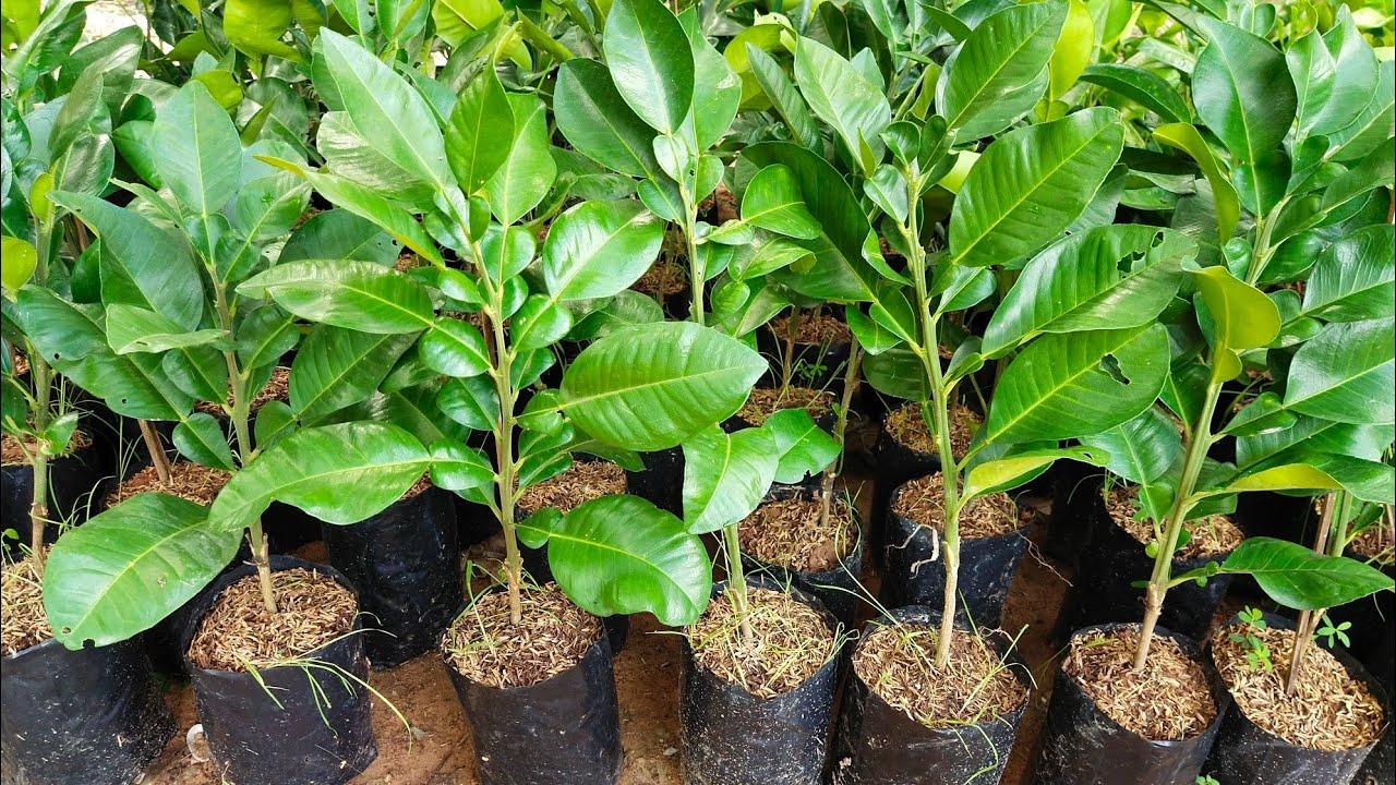 ต้นพันธุ์ส้มโอทับทิมสยามต้นงามๆต้นสมบูรณ์พร้อมปลูก สนใจติดต่อ 365-0719800ไอดีไลน์0650719800