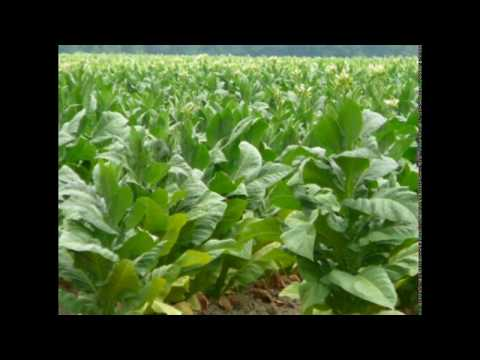 Top 10 Tobacco Producing States In India Tobacco