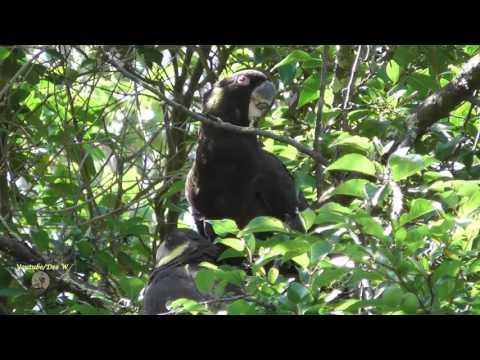BIRDS IN MY BACKYARD / YELLOW-TAILED BLACK COCKATOO FEEDING IT'S  YOUNG