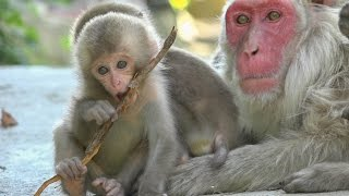【SNOW MONKEY】 Mother Raise Two Babies 2 地獄谷野猿公苑