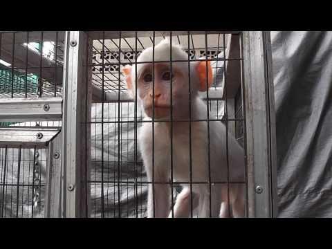 macaque Monkey Growls Upset Pramuka Animal Market Indonesia