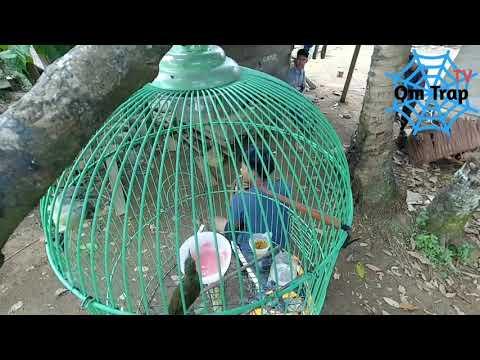 Kicauan Kolibri Kelapa (Betina)