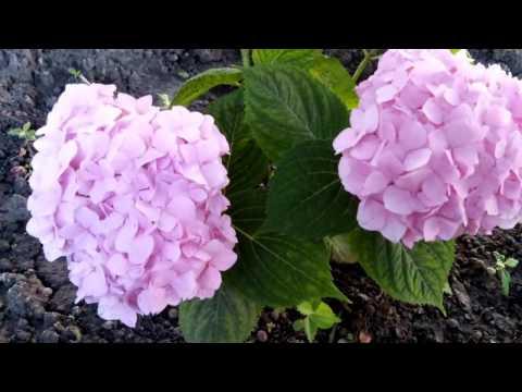 Hydrangea macrophylla Endless summer The Original 2014г.