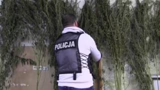 2 tys. krzewów konopi w Gorzowie Wielkopolskim