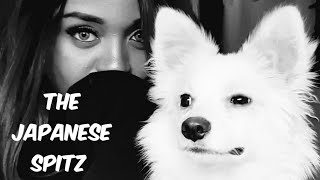 8 Things You Should Know Before Getting A Japanese Spitz.‍ A MUST SEE VIDEO!!
