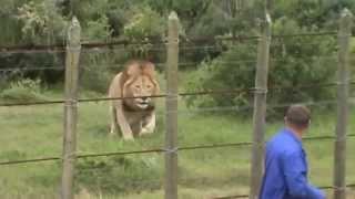 Lion at Addo Elephant Park