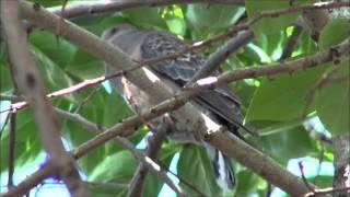 鳩はポッポッポーと鳴く。 胸を震わせ,尻尾も震わせて!