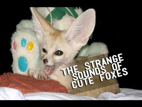 What do Fennec Foxes Sound Like?