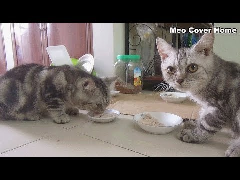 Two Cat Eating Meat Food So Yummy | Funny Cat Vines 2018 [Funny Pets]