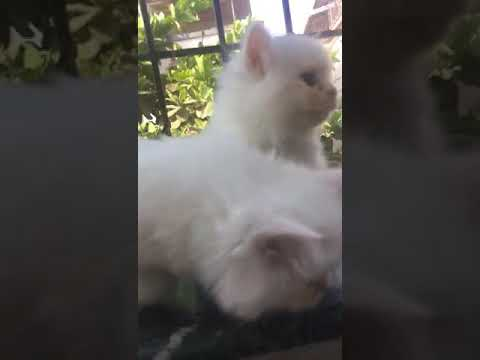 Bobtail Cat | Bobtail breed kittens | persian cats for sale