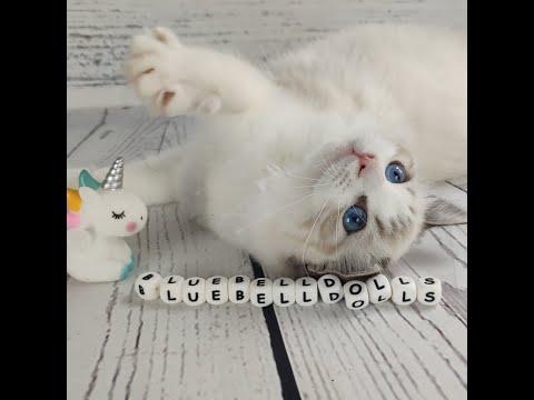 Вопрос: Рэгдолл и пердолл в чем различия пород кошек?