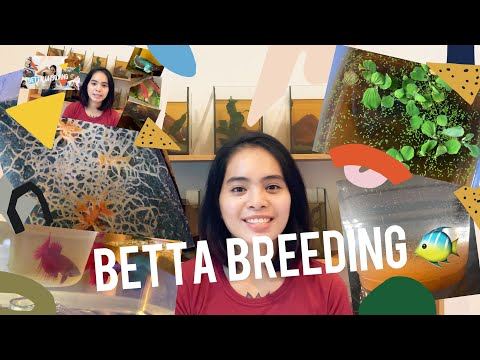 BETTA BREEDING UPDATES • PH