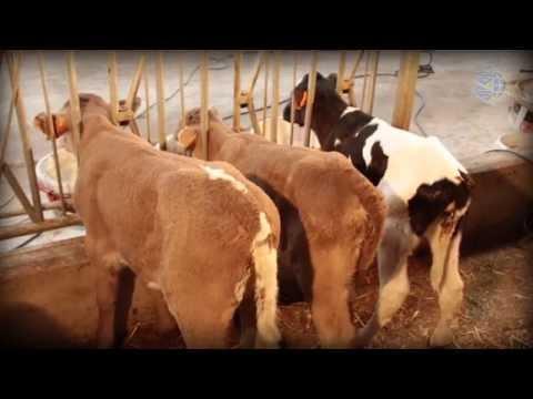 Вопрос: Что такое шортгорнский скот?