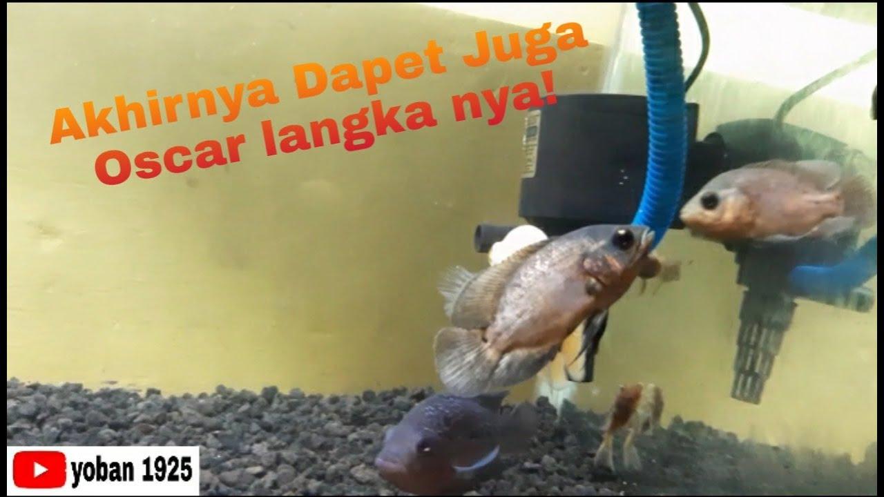 Akhirnya Dapet Juga Ikan Oscar Langkah Nya Youtube
