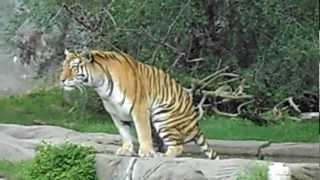 Noisy Tiger Diarrhea