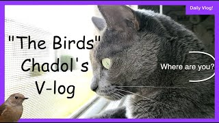 The Cat Daily Video  The Birds (Life of Korat cat) Vlog