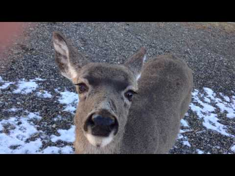 Petting a Wild Deer