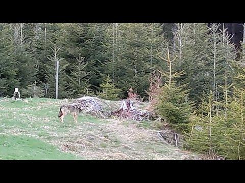 Jägerin filmt Wolf bei der Jagd am Feldberg