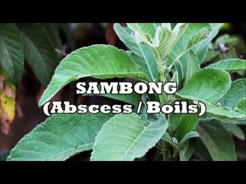Herbs for Life: SAMBONG (Abscess | Boils)