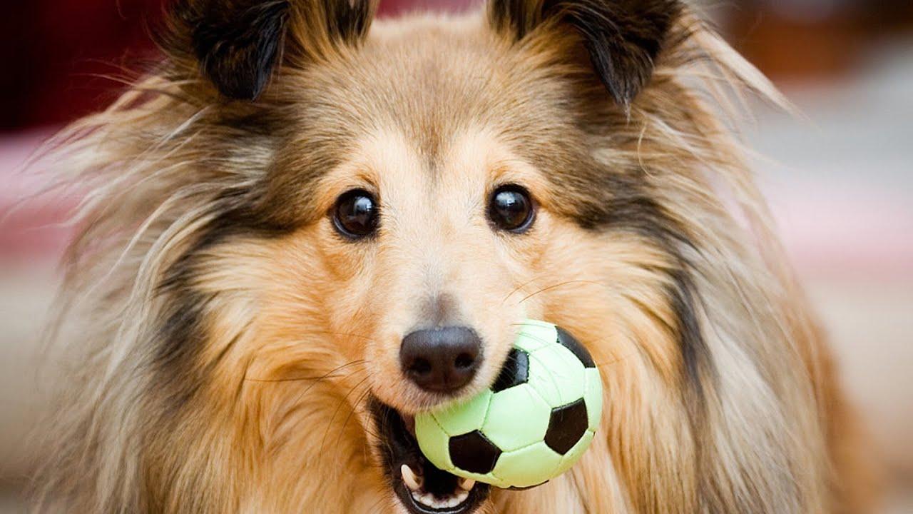 фото колли собака