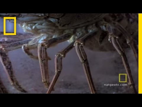 Lobster Babies | National Geographic