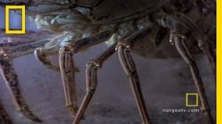 Lobster Babies
