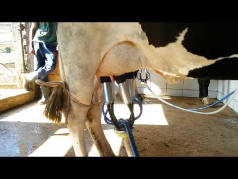 Como tirar leite em vaca Holandesa com Ordenhadeira /  How to draw milk in Dutch cow with milker