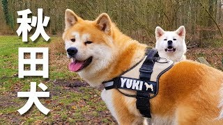 Akita Dog - Yuki, the Japanese Akita, has become 3 years old on Mar...