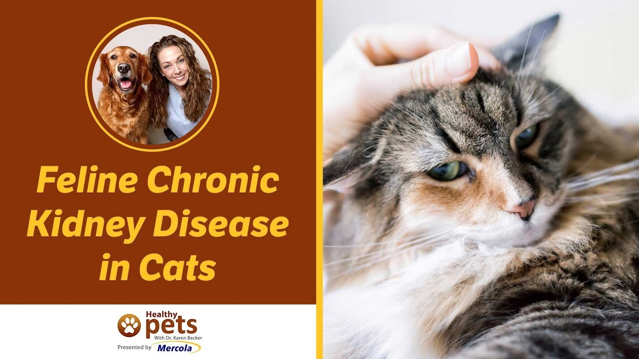 Chronic Rental Failure In Cats Dogs And Animals Feline Crf