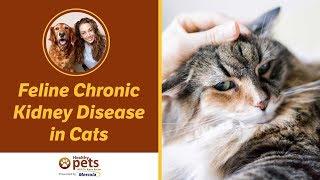 Feline Chronic Kidney Disease In Cats Youtube