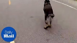 K9 dog chases thief - Daily Mail