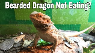 Why is my Bearded Dragon Not Eating?
