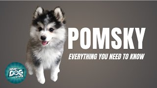 Pomsky Dog Breed Guide | Dogs 101 - Pomeranian Husky Mix