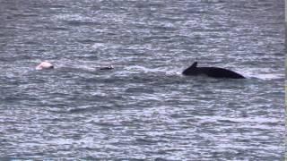Maui Hawaii Humpback Whales 2014
