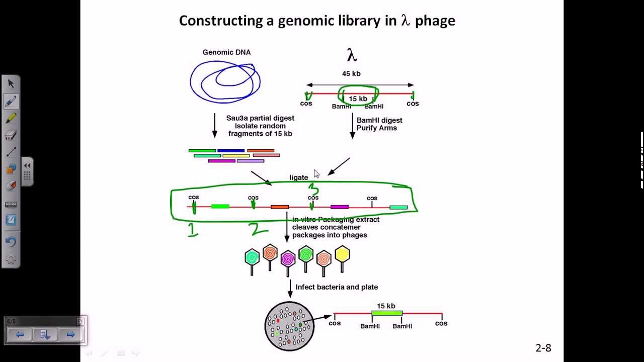 Construction of genomic library using lamda phage - YouTube