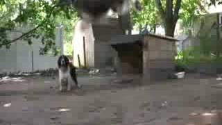 English Springer Spaniel High Jumping: Pudge Air 2