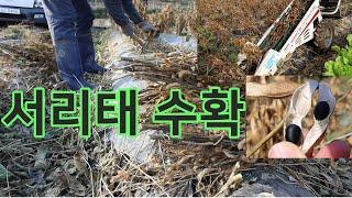 콩수확시기 / 콩수확기계 / 서리태수확시기 / 서리태수…