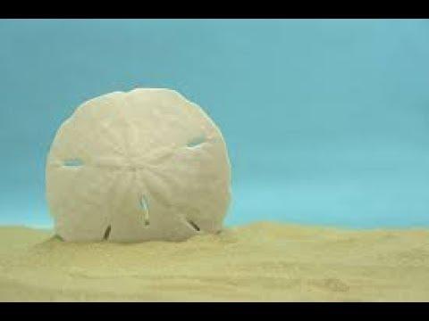 How To Bleach Sand Dollars