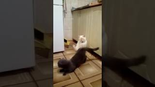 Вязка шотландских котиков Джеси и Тим