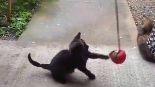 ашера кошка цена видео