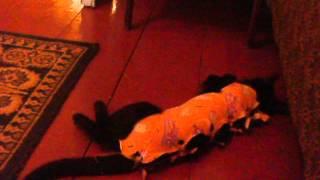 кошка после наркоза-2