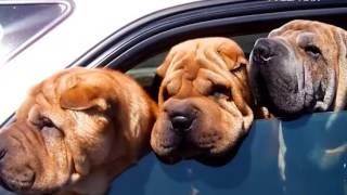 Лапы и хвост 25.09.2016. Аквариумистика. Правила перевозки собак в автомобиле