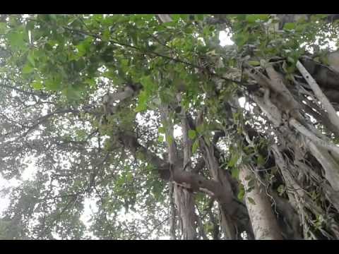 Oldest Tree in the world - INDIA
