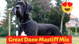 Complete Guide to the Great Dane Mastiff Mix (Daniff)