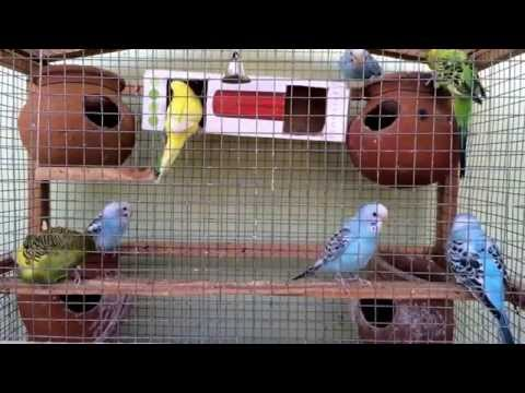 My Budgies-Playing With Nest Box