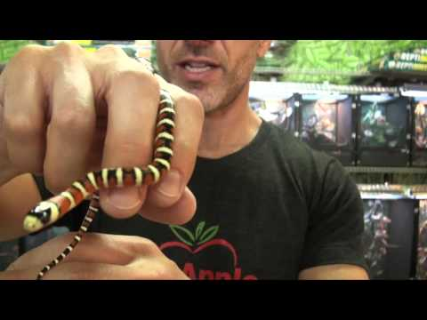Arizona Mountain King Snakes For Sale. Buy at Big Apple Pet with Same Day Shipping.